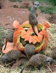meerkat pumpkin