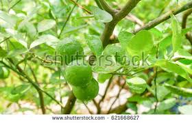 lime orchard stock images royalty free images vectors