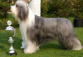 bearded collie x terrier bearded collie general features temperament health