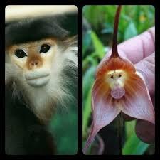 monkey orchids 105 best d monkey orchids images on monkey orchid