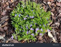 australian native ground cover plants dainty little west australian native wild stock photo 150462389