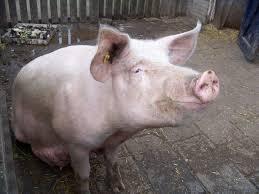 pig pictures qige87 com