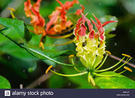 Yellow Climbing Flowers - gloriosa superba or climbing lily is a climber with spectacular