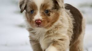 miniature australian shepherd 8 weeks december 2012 mini aussie puppies u2014 breezemore