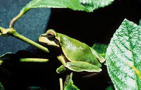 why frogs are green