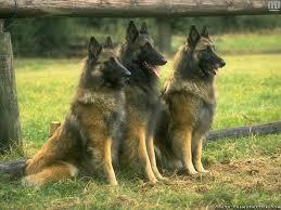 most wolf dog breeds dog breeds puppies training of wolf dog breeds