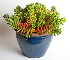 succulent house sedum rubrotinctum wikipedia