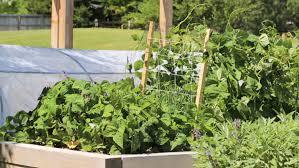 City Backyard Swiss Chard Seedlings Planted In City Backyard Garden Stock