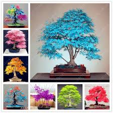 pflanzen fã r den balkon baum samen 20 maple samen bonsai blau ahornbaum japanischen ahorn