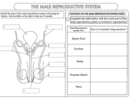 reproduction the menstrual cycle worksheets by teach biology