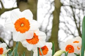 free photo flower garden narcissus spring bloom daffodil max pixel