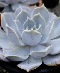 Ny Topiary - echeveria lilacina ny topiary