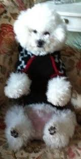 bichon frise nashville everyone should check small paws rescue they are a bichon frise