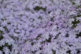 free images blossom flower herb botany flora rock garden