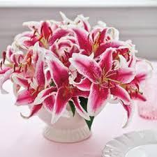 stargazer lilies stargazer on sale at hill nursery
