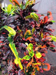 croton growing caring for croton houseplant