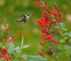 native plant nursery pa hummingbirds wintering in pennsylvania backyardsfornature org