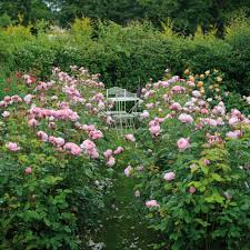 the alnwick rose hedging collection 10 roses english roses type