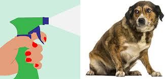 repulsif chien canapé chats chiens canapé comment éviter les accidents la