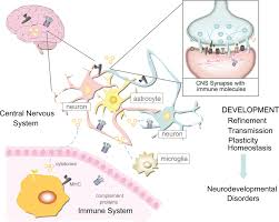 Blood Brain Barrier Anatomy The Relationship Between The Immune System And Nervous System Is