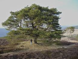 the scots pine keeper of the forest the hazel tree