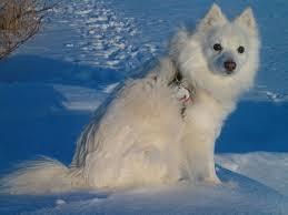 american eskimo dog tricks american eskimo dog dog breed manual