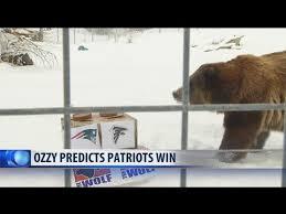 Zoomontana S Grizzly Makes Super Bowl Prediction Ktvq Com Q2 - zoomontana s bear barely picks super bowl winner youtube