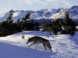 idaho proposes wolf seasons wisconsin says us fish
