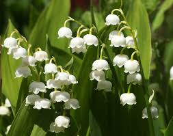 Fragrant Shade Plants - 70 perennials that do well in shade gardens plants and perennials
