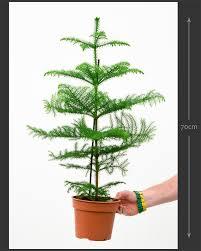 araucaria heterophylla norfolk island pine house of plants