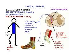 Knee Reflex Arc Reflex