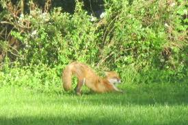 reader photos red foxes around the philly region