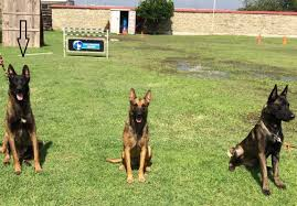 belgian malinois for sale for sale three belgian malinois in training youtube