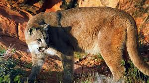 Utah wildlife images Cougar plan causes uproar among conservationists jpg