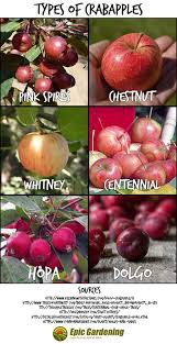 can you eat crab apples a simple guide to this ornamental fruit