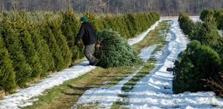 Cutting Christmas Tree - cutting down your own christmas tree in the pittsburgh area