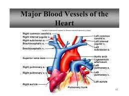 Heart External Anatomy Anatomy Of The Heart Vessels Choice Image Learn Human Anatomy Image