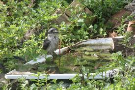 kookaburra u2013 my wild australia