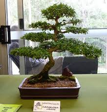 australian native plant society bonsai u0026 pottery post 150 australian native bonsai exhibition
