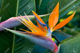 Bird Of Paradise Flower Exotic Bird Of Paradise Flower And Plant On Garden Stock Photo