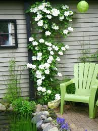 kletterpflanzen fã r balkon kletterpflanzen halbschattige standorte marcusredden