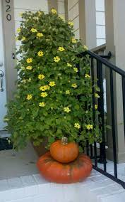 365 u2013 healthy days 24 best vines for containers climbing plants