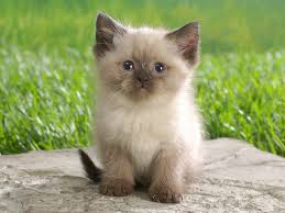 very cute kitten kittens very cute kitten pic u2013 cute cat and