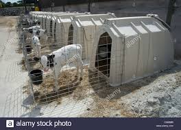 Calf Hutches For Sale Domestic Cattle Holstein Dairy Calves Standing In Calf Hutches