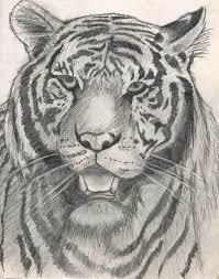 tiger sketch by artyshazzie on deviantart