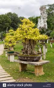china bonsai stock photos u0026 china bonsai stock images alamy