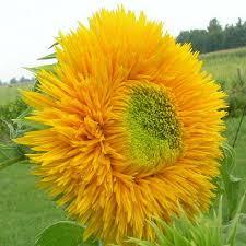 teddy sunflowers 785 best sunflower stuff my obsesion images on sun
