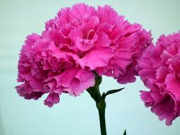 pink carnation flower wallpaper tadka