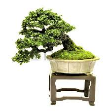 bonsai tree on table potted bonsai tree small tree in pot isolated