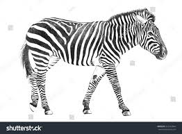 hand drawn zebra sketch zoo animal stock illustration 212912044